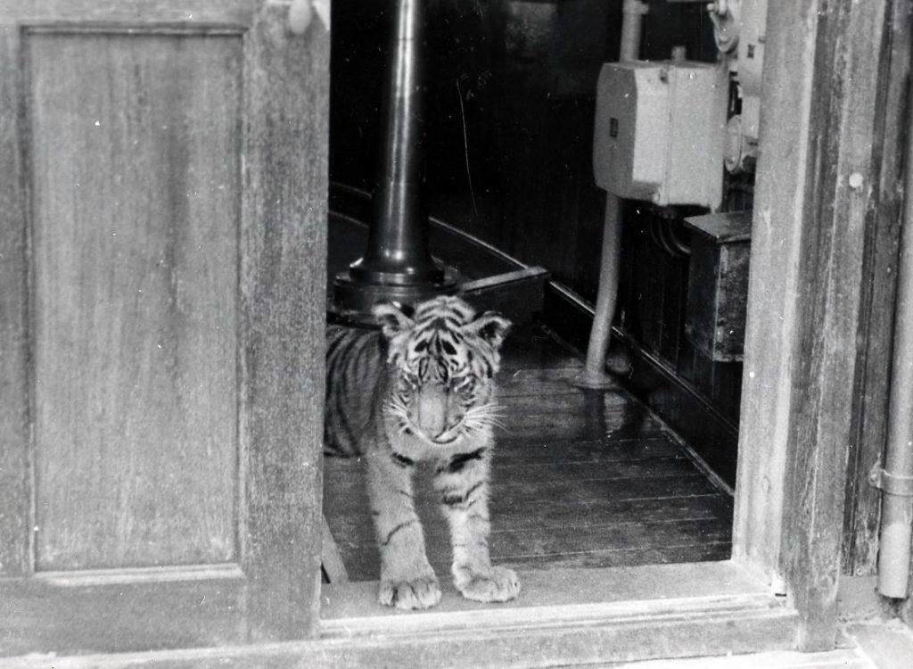 En tigerunge